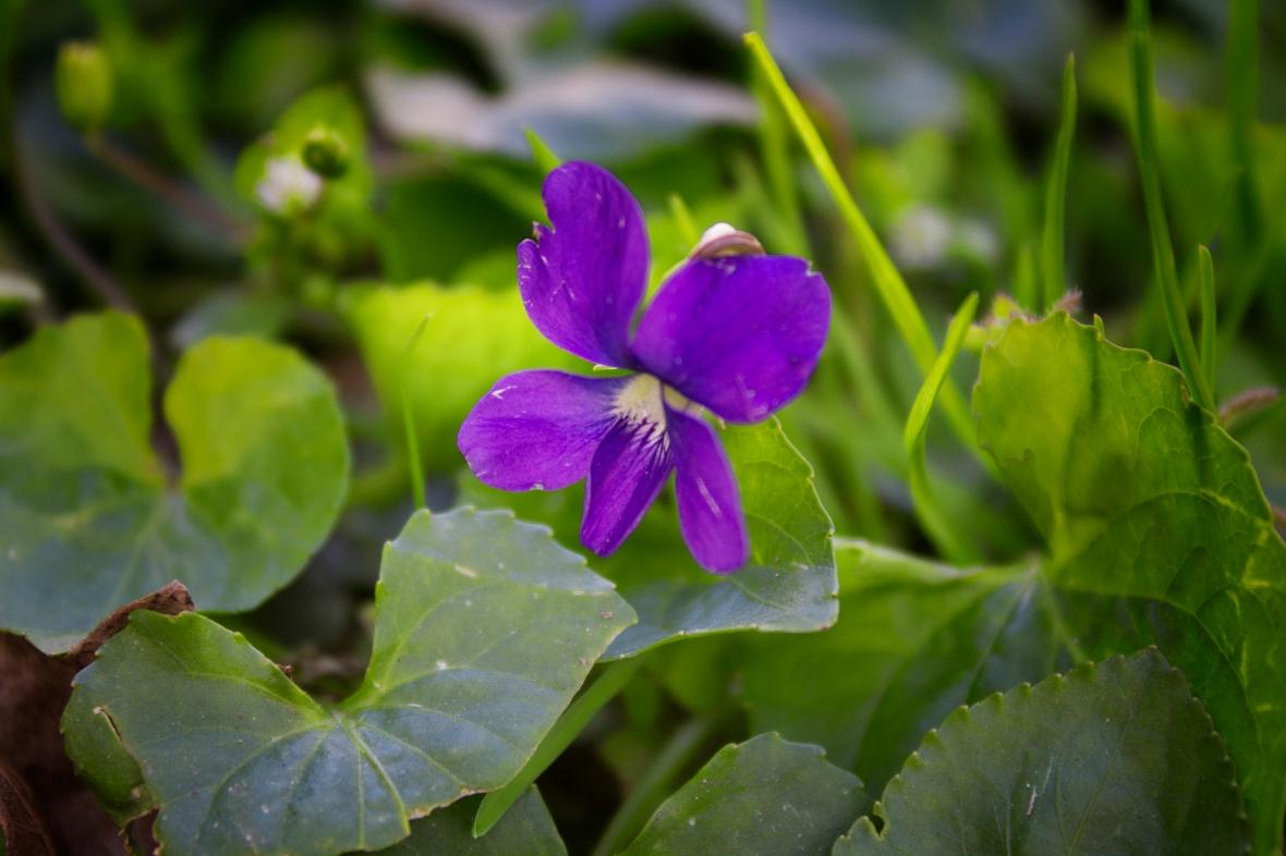 Violet in the Spring