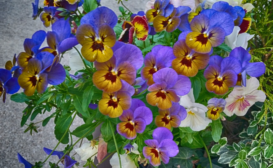 Violets in the spring